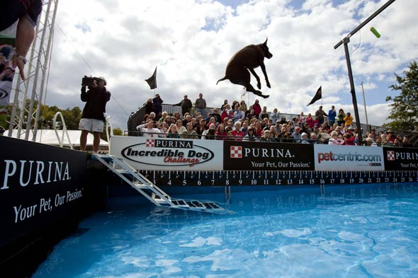purina incredible dog diving challenge