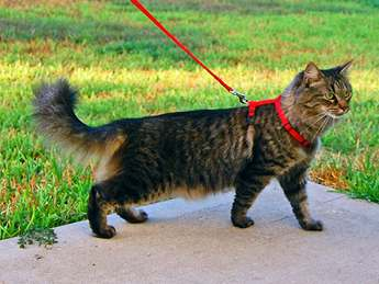 funny cat on leash picture