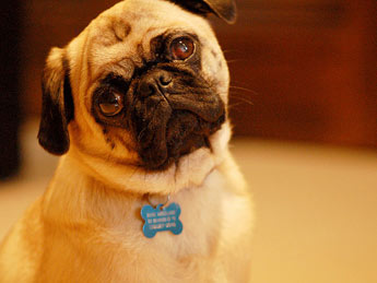 confused pug picture