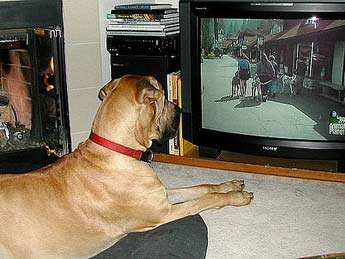 great dane watching TV