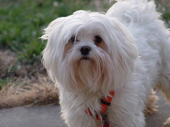 maltese dog photo