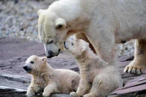 twin polar bear cub germany picture