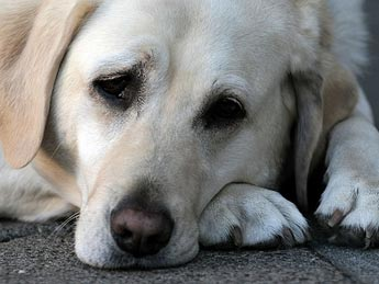 Grieving Dog