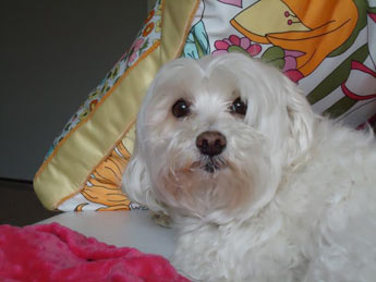 Maltese Dog Picture