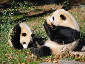 giant panda washington dc picture