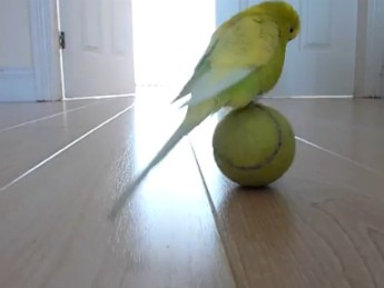 parakeet ball balance picture