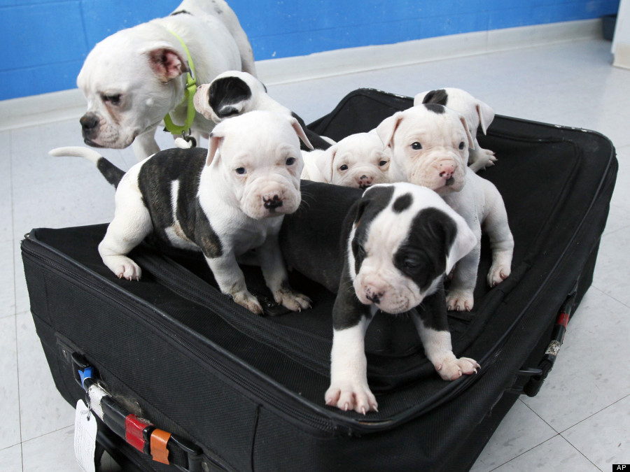Six bulldog puppies rescued from locked suitcase