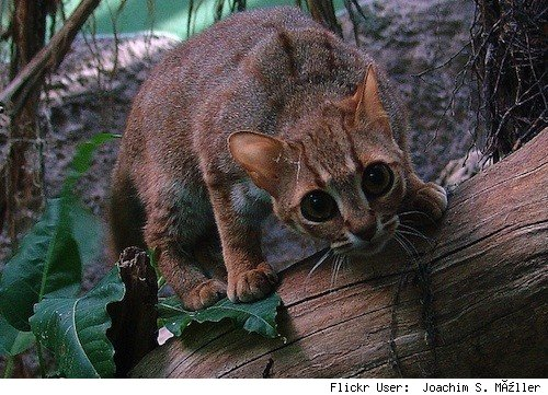Striped And Tabby Cat Breeds Types
