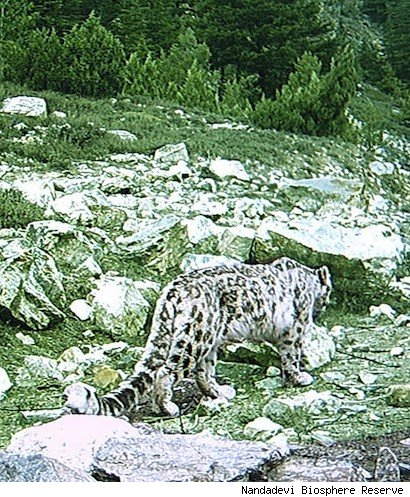 Himalayan leopard - photo#25