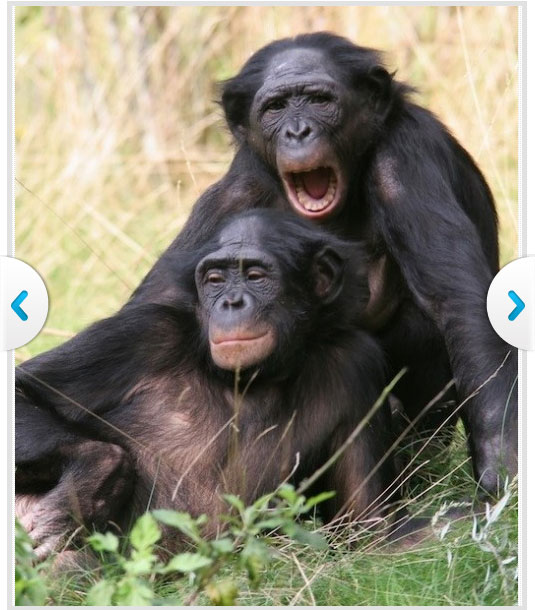 Bonobos Monkey Love Bonobos 39 Free Love And Other