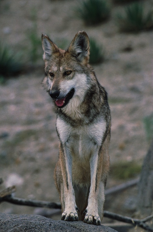 Feds to Shoot Endangered Mexican Gray Wolf