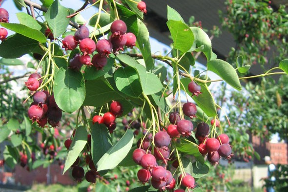 Amelanchier berries