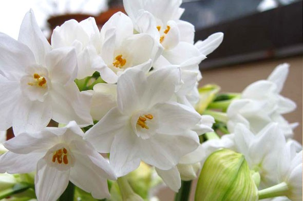 nature-gifts paperwhites