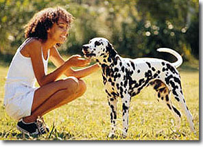 dalmation dog eating