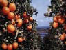 Florida may face citrus shortage