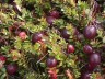 Heirloom and Native cranberries reintroduced in NJ