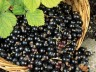 Dried Black Currants hit US market