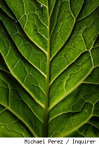 close up shot of kale leaf
