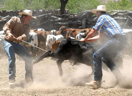 image of cowboys branding cattle in arizona