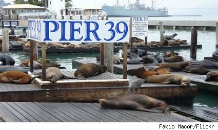 Pier 39 at Fisherman's Wharf in San Francisco, with seals sun bathing.
