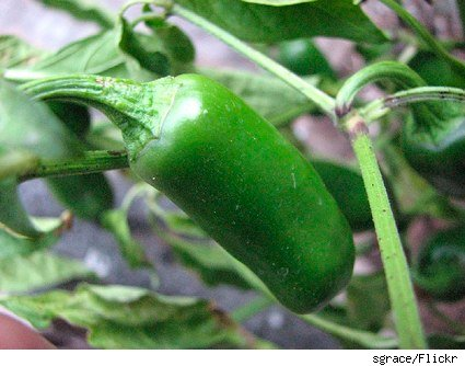 hot chili pepper on the vine
