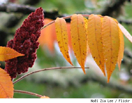 staghorn sumac