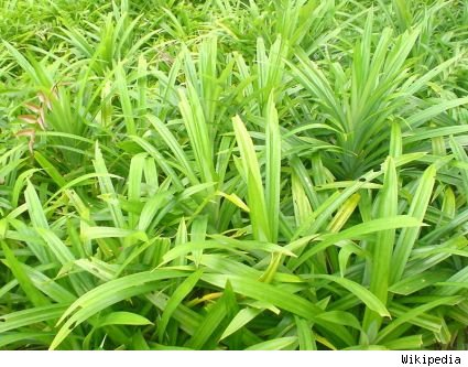 pandan leaves