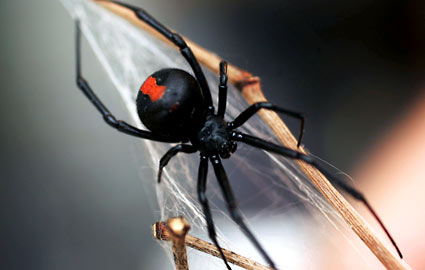 http://www.blogcdn.com/www.slashfood.com/media/2009/10/black-widow-spider-425rb100809.jpg