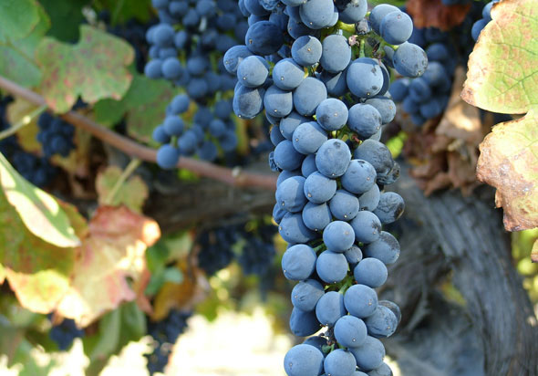 Wine grapes in Sonoma