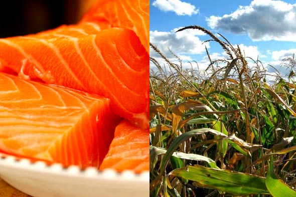 food politics, genetically modified salmon and corn