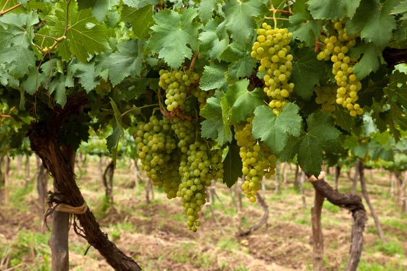Torrontes white wine grapes in Argentina