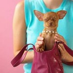chihuahua in purse