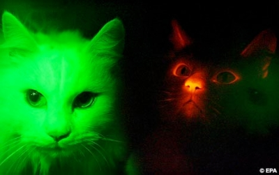 Scientists Clone Fluorescent Cats
