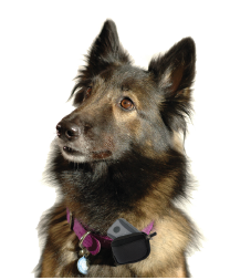 Dog wearing a Spotlite 2.0 GPS Pet Collar