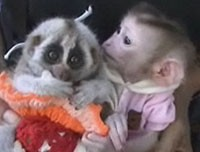 monkey slow loris