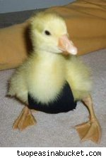 animal diaper duckling