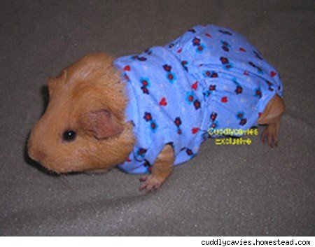 animal diaper guinea pig
