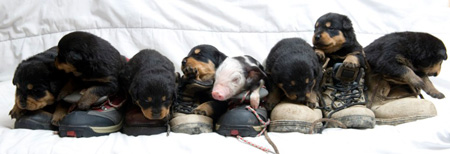 Apple Sauce the piglet with Her rottweiler family and their favorite shoes