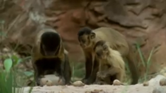 Monkeys with rocks
