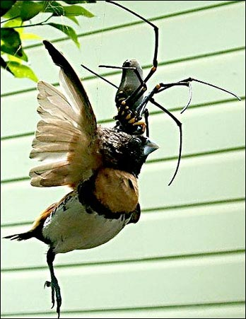 Golden Orb Spider Eating Bird