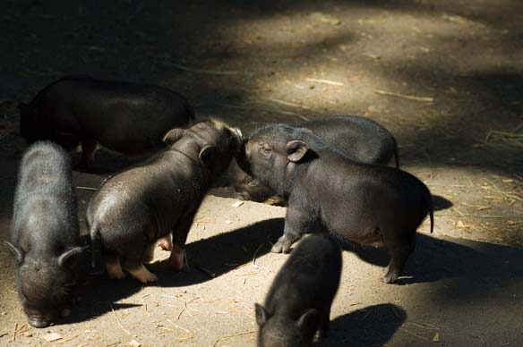 Kissing Piglets
