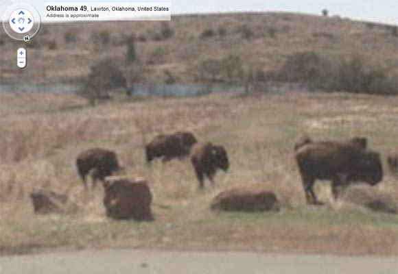 Google Maps Street View Safari Animals Buffalo