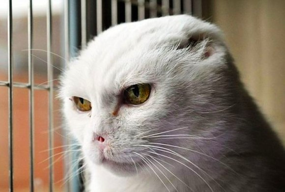 charlie the white voldemort cat has no ears or nose