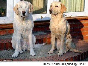 blind guide dog has his own seeing eye dog