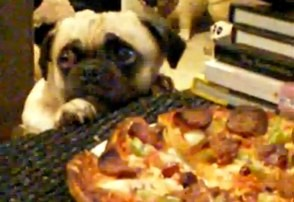 pug loves pizza
