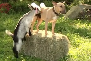 dog in milk pants feeds goats