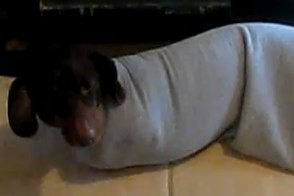 poncho the wiener dog stuck in shirtsleeve