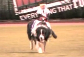 spider monkeys ride border collies