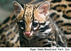 baby ocelot evita at woodland park zoo