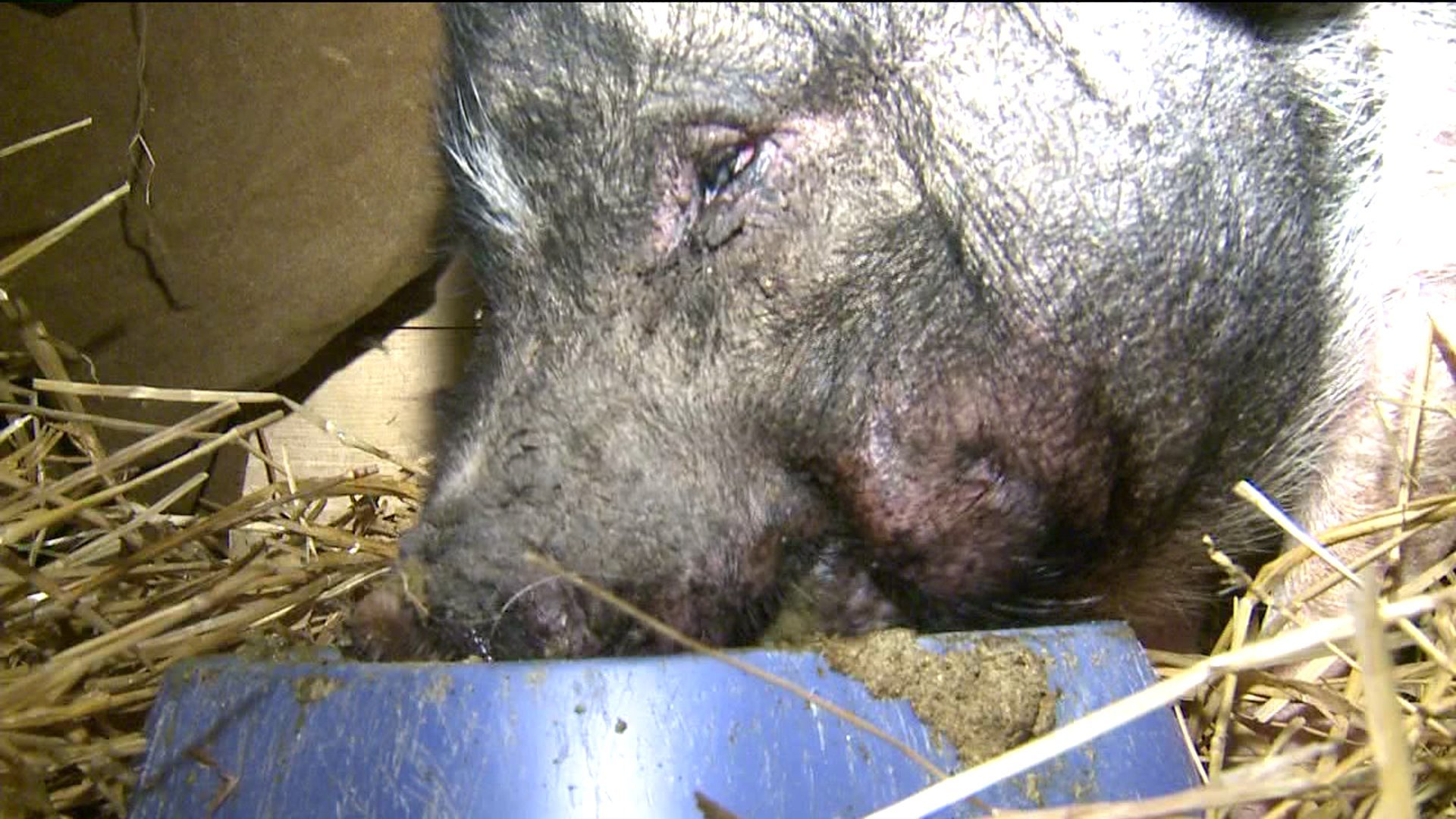 World S Oldest Pig Mr Chops Dies At 21 Years And 348